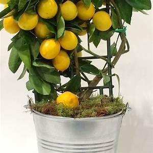 ASTUCE: Voici comment faire pousser un citronnier à la ...
