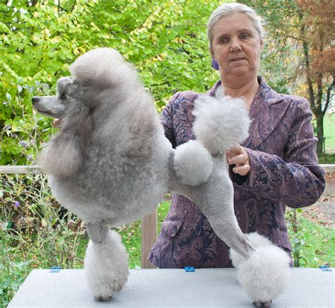 whitout miniature poodles