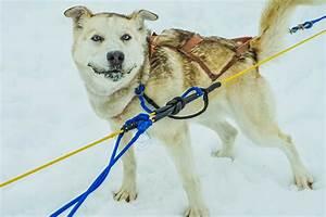 Free Images : snow, winter, alaska, pulling, dog breed ...