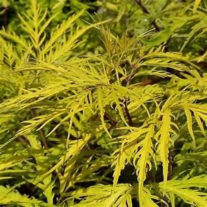 Purin De Sureau : sambucus racemosa welsh gold sureau grappes au ~ Melissatoandfro.com Idées de Décoration