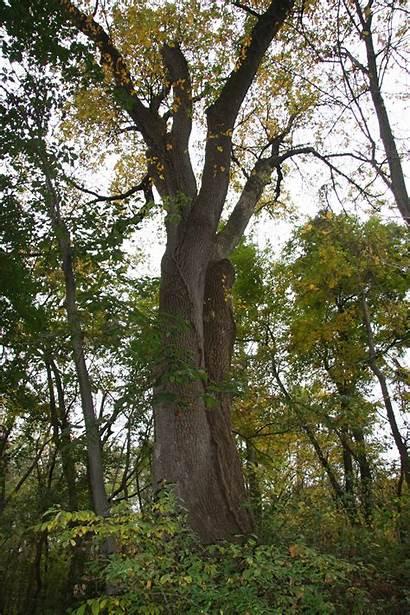 Ash Trees Leaf Delawaretrees