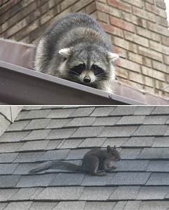 Animal On The Roof - What Sounds And Noises