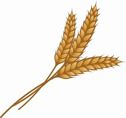 Wheat Stalk Clipart Grain Illustration Transparent Vector