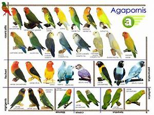 Parrot Identification Chart Agapornis Roseicollis Place Of Birds