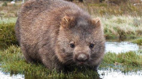 tierwelt australiens wombats die heimlichen stars tasmaniens