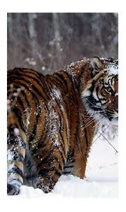 tiger wallpaper - HD Desktop Wallpapers | 4k HD