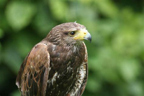 Birds Of Prey In Pembrokeshire, West Wales