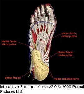 Anatomy Image Organs. anatomy of the heel retinaculum ...