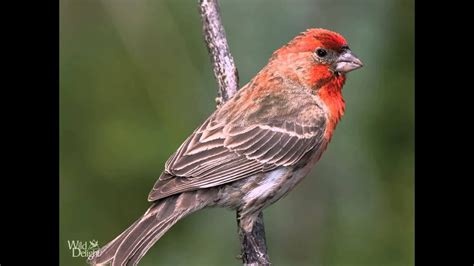 house finch song bird singing