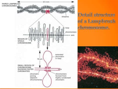 giant chromosomes lampbrush polytene