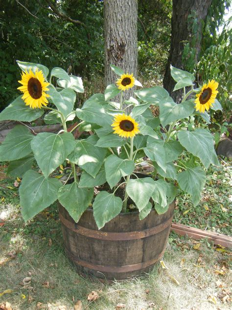 interesting way to growing sunflowers in pots the minimalist nyc