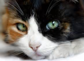calico cat why calico cats are as as hens teeth dr