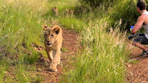 Living With Big Cats Volunteer Southern Africa 2015