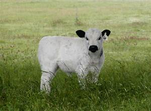 Baby Cows and Calves