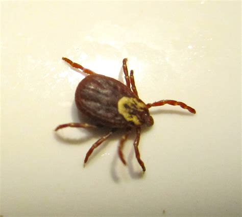 Image result for dog tick