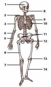 Free Anatomy Quiz - The bones of the human skeleton   A&P ...