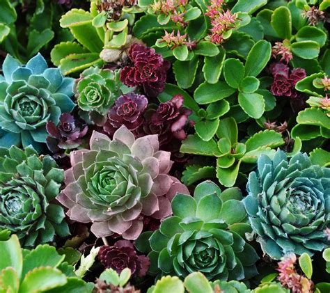 cottage farms artists palett savvy sedum succulent
