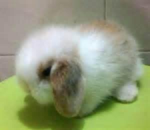 Baby Holland Lop Dwarf Bunnies for Sale