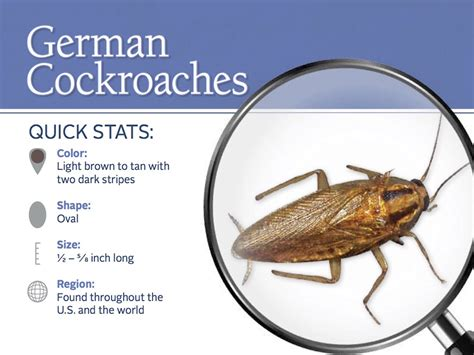 german cockroaches  control information