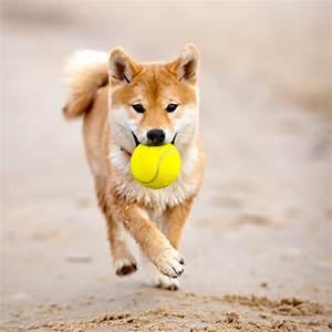 Video Pour Chien : le chien japonais et les jouets pour chien chien japonais ~ Medecine-chirurgie-esthetiques.com Avis de Voitures