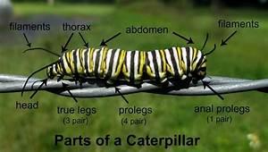 Parts Of A Caterpillar