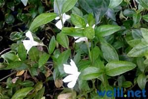 Vinca Minor Giftig : pflanzen und wellensittiche buchstabe k ~ Lizthompson.info Haus und Dekorationen