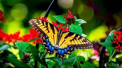 Butterfly 1816 Mocah