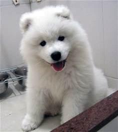 top 10 best hypoallergenic dog breeds the cozy pet blog
