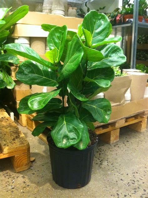 fiddle leaf fig tree 13 ikea for the home