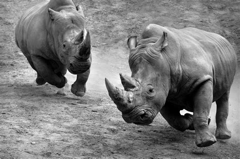 Animal National Geographic Rhinos