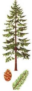 Douglas Fir Artificial Christmas Tree by Douglas Fir Tree Drawing Google Search Tattoos