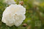 CNL101193- ROSA 'WINCHESTER CATHEDRAL' : Asset Details ...