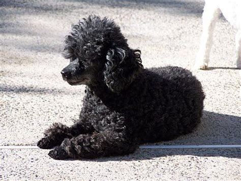 black toy poodle full grown google search teacup