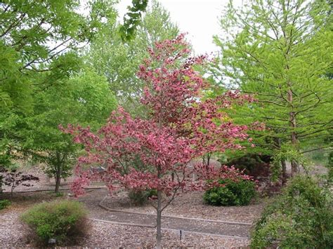 tricolor beech echo or the tri color beech is a favorite in echo s oregon trail arboretum photo picture