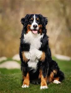 Berner Sennenhund Gewicht : berner sennenhund hundetipps ~ Markanthonyermac.com Haus und Dekorationen