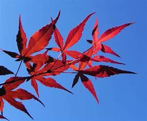 Ahorn Rote Blätter : japanischer ahorn baum blatt rot acer japonicum sch ne pflanzen bilder baum bl tter ~ Eleganceandgraceweddings.com Haus und Dekorationen