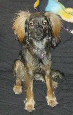 temptation news long haired dachshund chihuahua mix