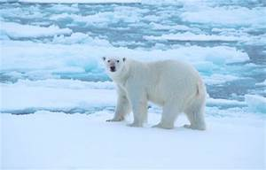 Polar Bear Adaptations Related Keywords - Polar Bear ...