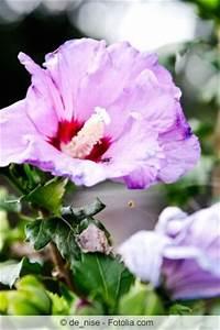 Hibiskus Wann Zurückschneiden : hibiskus schneiden tipps f r den zimmer und gartenhibiskus ~ Lizthompson.info Haus und Dekorationen