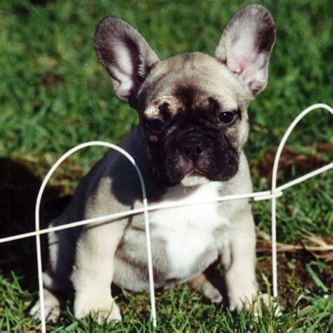 Filecarmen  Ee  Frenchbulldog Ee   Fawn Jpg