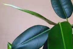 Gummibaum Verliert Blätter : gummibaum im freien halten so f hlt er sich wohl ~ Lizthompson.info Haus und Dekorationen