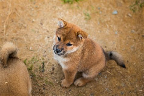Share tweet pinit google+ email. Portrait Of Cute Red Shiba Inu Puppy Sitting Outside On ...