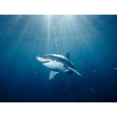 Shark Pictures - Wallpapers National Geographic