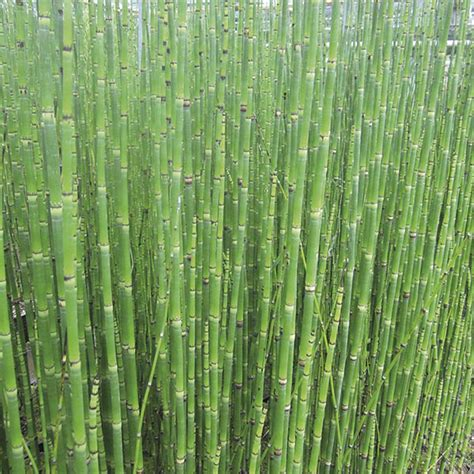 equisetum hyemale   fothergills seeds  plants