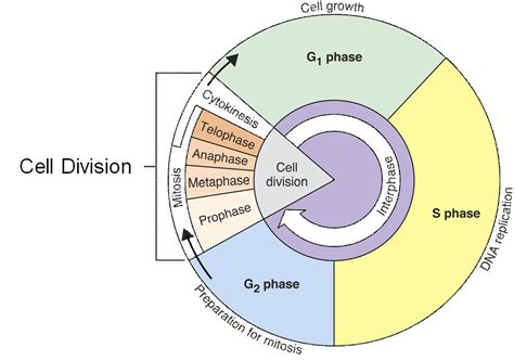 cell cycle interphase lessons tes teach cells
