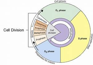 Cell Cycle Interphase - Lessons