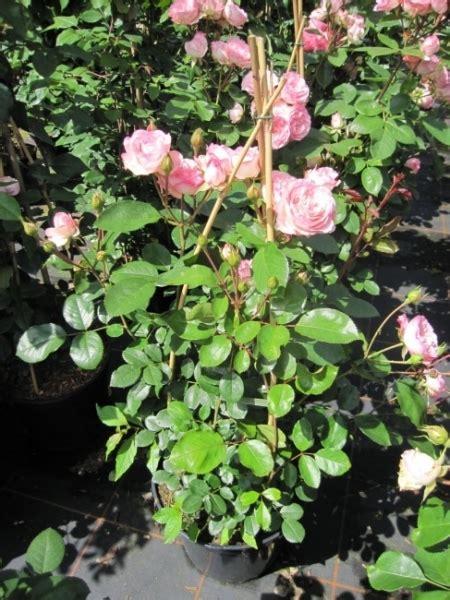Kletterrose Mini Eden Rose Rosa Mini Eden Rose