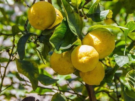 coltivare agrumi in vaso coltivare limoni in vaso esposizione vivaio scariot