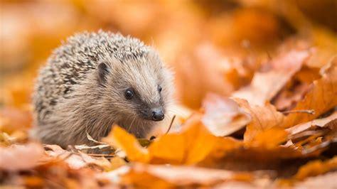 Igel Im Garten Herbst by Garten Dem Igel Beim 220 Berwintern Helfen Beobachter
