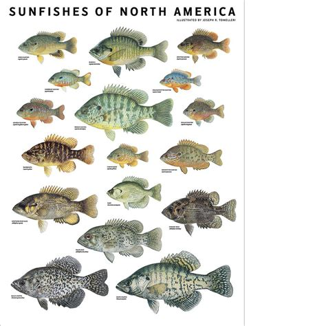 Sunfishes Of North America Poster  Scott & Nix. College Of Dupage Registrar Local Movers Dc. Tattoo Removal Effectiveness. Laser Surgery To Turn Brown Eyes Blue. Mortgage Specialist Salary Inventor Of Lasik. Japanese Import Car Insurance. Purdue Business School Email Microsoft Office. Womens Hospital Houston Tx Pest Control Plano. Business Insurance Leads For Agents